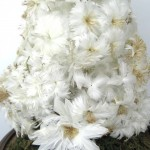 Victorian White Feather Tree under Glass French Globe de Mariee